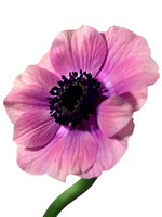 Pink Anemone On White