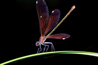 Copper Damselfly